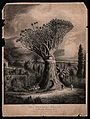 An old dragon tree (Dracaena draco) with a gash in its stem Wellcome V0043231.jpg