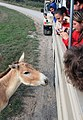 An onager checks out the bus (2917699630).jpg