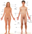 Anatomia czlowieka - nowy.png