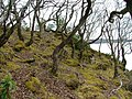 Ancient Oakwood on Torr na Cuinneige - geograph.org.uk - 774525.jpg