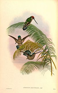 Tooth-billed hummingbird Species of bird