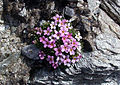 Androsace alpina Riffelberg.jpg