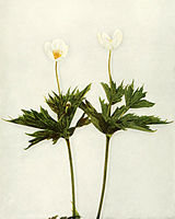 Anemone canadensis WFNY-067.jpg
