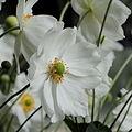 Anemone hupehensis-IMG 6162.jpg