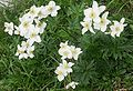 Anemone narcissifolia.jpg
