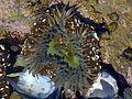 Anemone plant sea plant.jpg