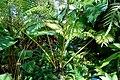 Angiopteris sp. - Marie Selby Botanical Gardens - Sarasota, Florida - DSC01043.jpg