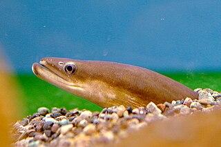 Japanese eel Species of fish