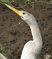 Anhinga anhinga leucogaster, female head. (9011740621).jpg