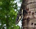 Anolis equestris - dark close profile.jpg