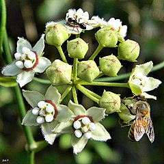 Ant, Bee and White Twinevine (Sarcostemma clausum) (7984936872).jpg