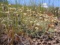 Antennaria microphylla (5454073896).jpg