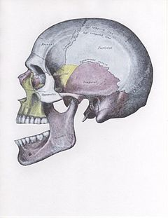 Side view of the skull with anterior dislocation of jaw.