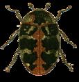 Anthrenus scrophulariae Jacobson.png