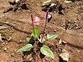 Anthurium andraeanum-8-tnau-yercaud-salem-India.jpg