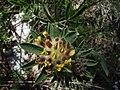 Anthyllis vulneraria flor 12.05.07.JPG