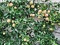 Apfel 6.jpg