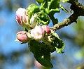 Apfelblüten Donnerstag 16. April 2020 (2).JPG