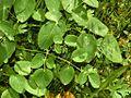 Apiaceae - Laserpitium latifolium.JPG