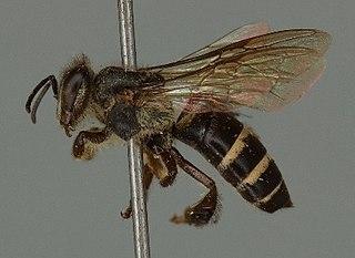 <i>Apis andreniformis</i> species of insect