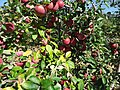 Apples at Hillview Farms in New Jersey October 2016 3.jpg