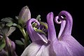 Aquilegia sp. (affinity flabellata var. pumila) (51166280030).jpg