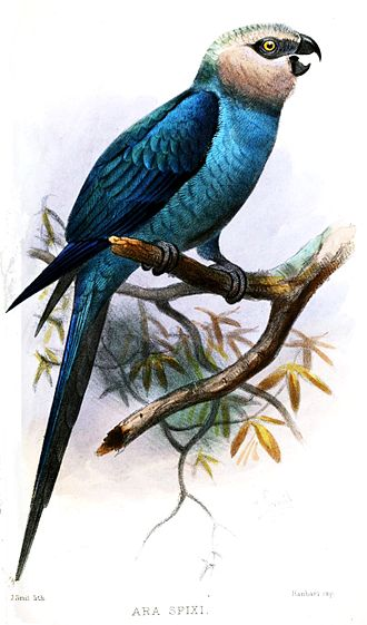 Spix's macaw - An 1878 painting of an adult by Joseph Smit