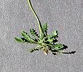 Arabidopsis arenosa ssp arenosa leafs.jpg