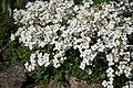 Arabis alpina subsp. caucasica UME.JPG