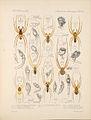 Arachnida Araneidea Vol 1 Table 28.jpg