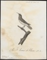 Arachnothera zeylonica - 1802 - Print - Iconographia Zoologica - Special Collections University of Amsterdam - UBA01 IZ19000187.tif