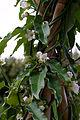Araujia sericifera - Fleurs-4.jpg