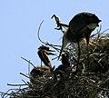 Ardea herodias nest 5-09-08-4.jpg