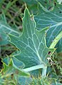 Argemone polyanthemos (white prickly poppy) (Castle Rock chalk badlands area, south of Quinter, Kansas, USA) 8 (19716132930).jpg