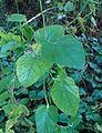 Aristolochia californica kz2.jpg