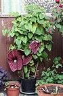 Aristolochia grandiflora (20387332592).jpg