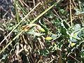 Aristolochia pistolochia formación del fruto.jpg