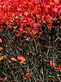 Aronia hedge with berries in autumn in Tuntorp 2.jpg