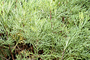 Artemisia abrotanum - close-up 1 (aka)