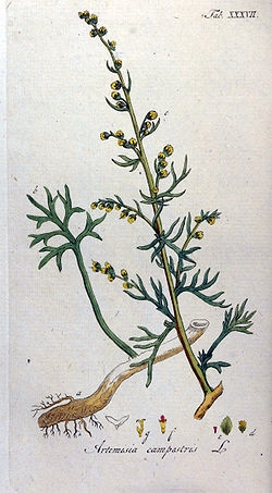 Artemisia campestris Ypey37.jpg
