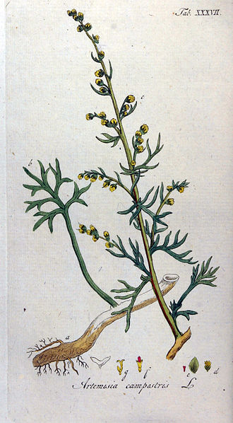 Artemisia campestris - 1813 illustration