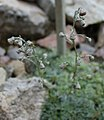Artemisia nitida GiardinoBotanicoAlpinoViote 20170902 C.jpg