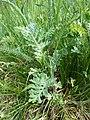 Artemisia pancicii sl15.jpg