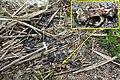 Arvicola sapidus 01 by-dpc.jpg