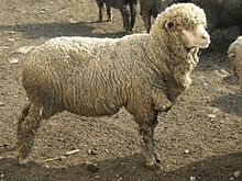 Ascanian sheep 1.jpg