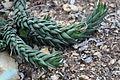 Asparagales - Haworthia coarctata - 2.jpg