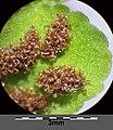 Asplenium trichomanes subsp. quadrivalens sl10.jpg