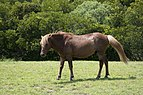 Assateague Island horses August 2009 3.jpg