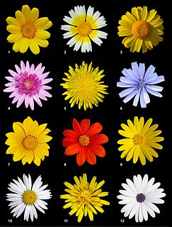 Asteraceae family of plants