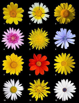 Asteraceae - A poster with 12 different species of Asteraceae from the subfamilies Asteroideae and Cichorioideae